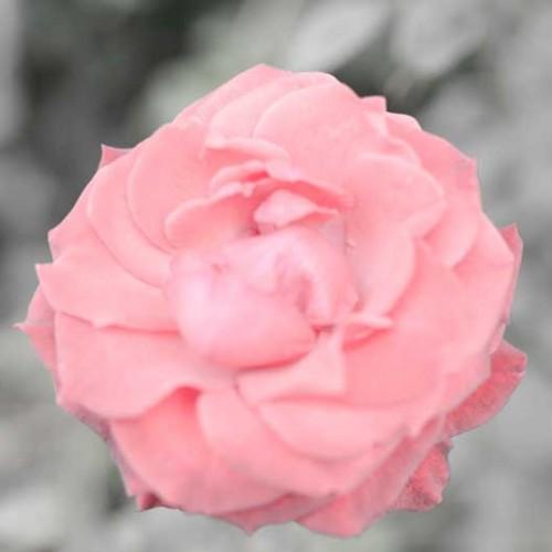 La rosa es sin porqué